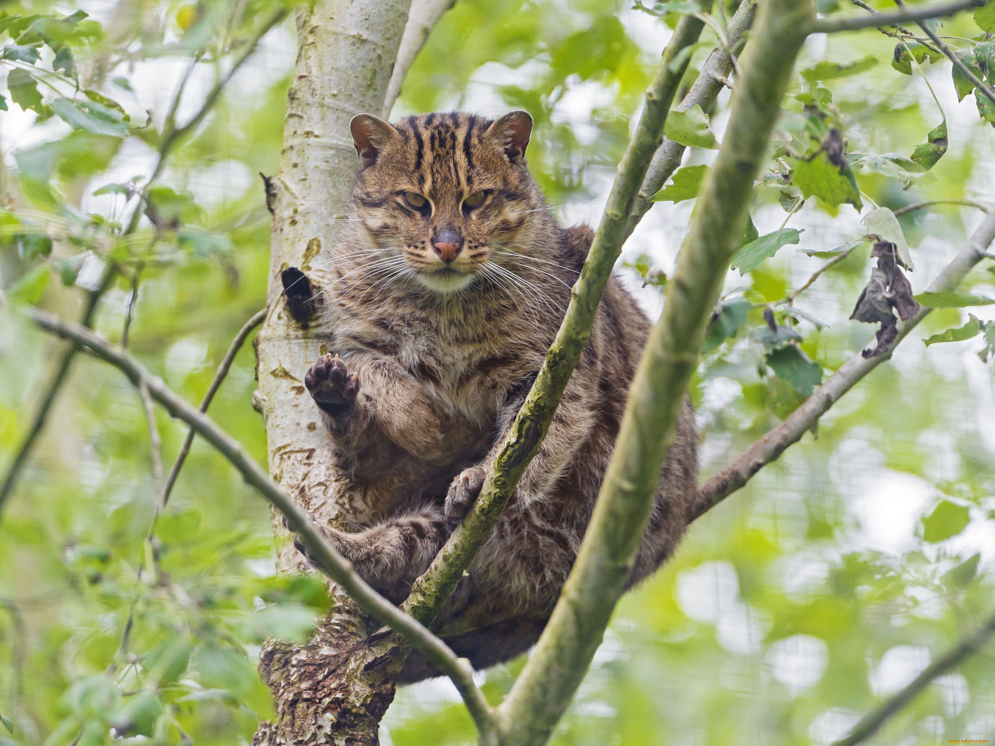 Животные дикие кошки взгляд дикая